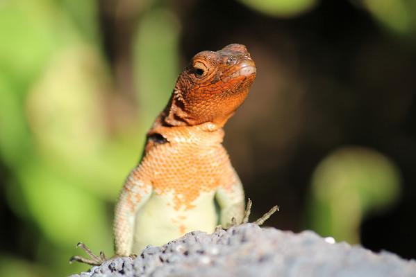Lava lizard.