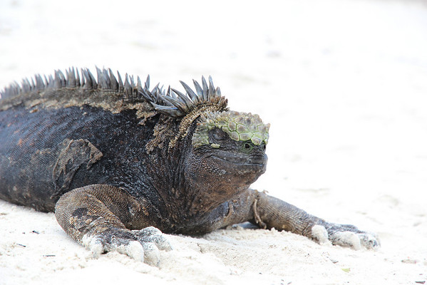 Marine iguana sun bathing.