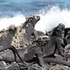 Basking Iguanas