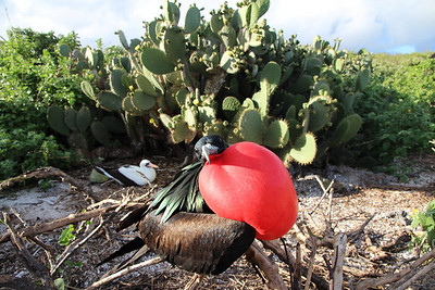 Frigate bird on mating season.
