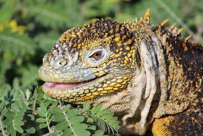 Land Iguana from Española island.