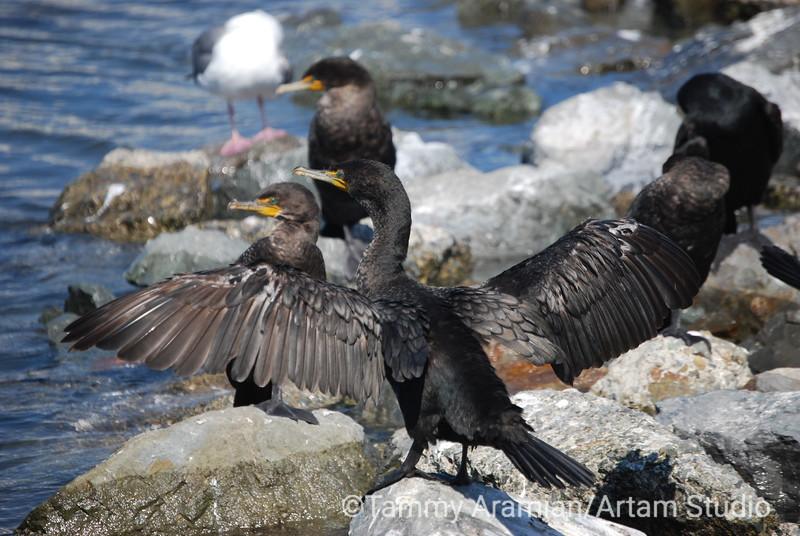 cormorants, San Francisco Bay, July 2008