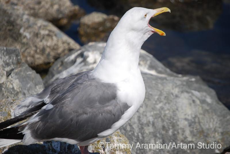 seagull, San Francisco Bay, July 2008
