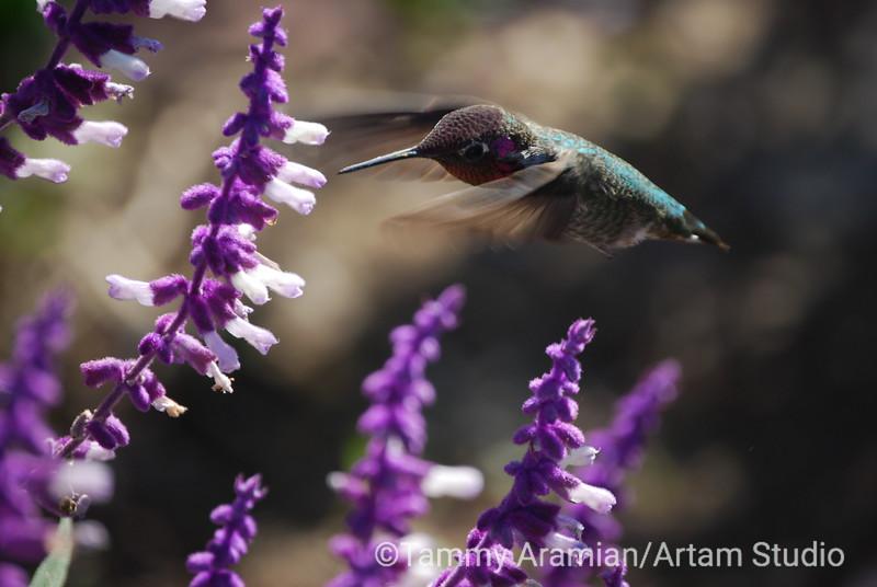 Anna's Hummingbird feeds on sage flowers, San Juan Capistrano, October 2009