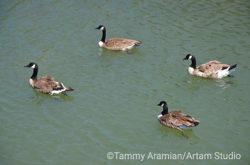 Canada geese, Redwood Creek, June 2012
