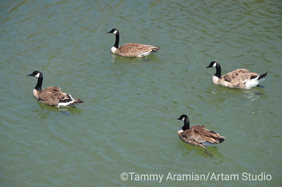 Canada geese, Redwood Creek, June 2012