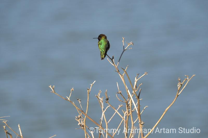 Anna's Hummingbird, Shoreline Slough, Mountain View, March 2015