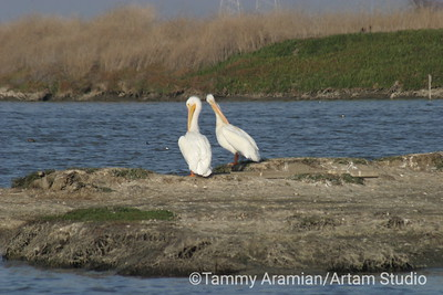 white pelicans, San Francisco Bay, Nov. 2004