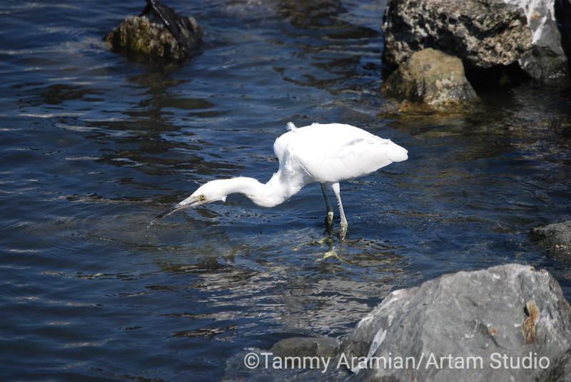egret, San Francisco Bay, July 2008