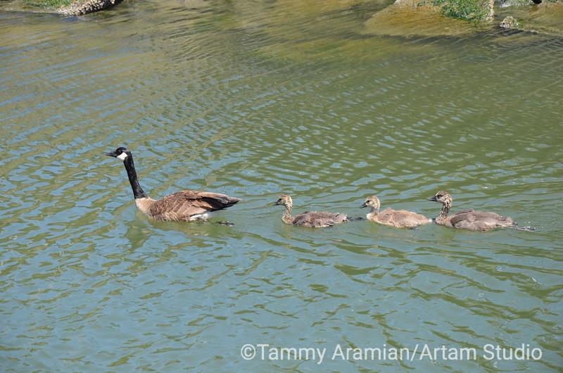 Canada goose and goslings, Redwood Creek, June 2012