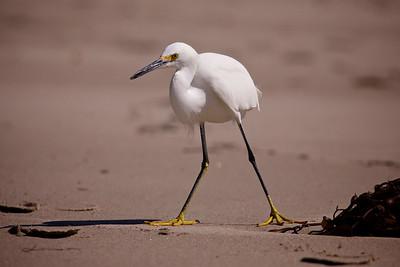 Snowy Egret, Malibu Lagoon