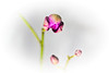 Blooming orchid -3739