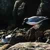 Swallowtailed Gulls, N. Seymour Island