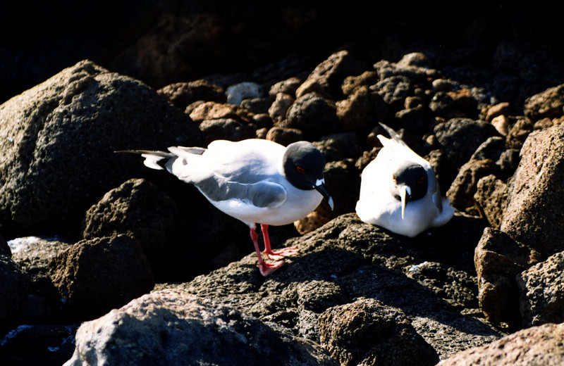 Swallow Tailed Gulls, N. Seymour Island