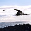 Frigate Bird, N. Seymour Island