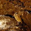 Yellow Crowned Night Heron, James Island