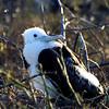 Frigate Bird Chick, N. Seymour Island