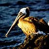 Pelican, James Island
