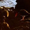Oystercatcher, James Island