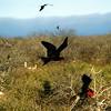 Frigate Birds, N. Seymour Island