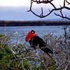 Male Frigate Bird, N. Seymour Island