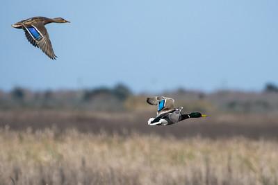 Mallard Ducks (Female-Male)