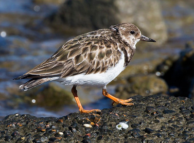 Another Ruddy Turnstone