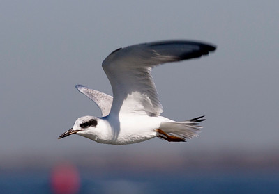 A Sandwich Tern in flight