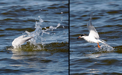 A Common Tern dives and re-emerges.