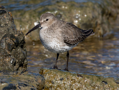 Another surprise for us.  I believe this is a Dunlin.