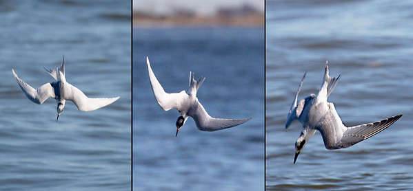 Three Sandwich Terns, each making its dive