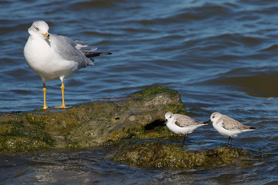 A Ring-billed Gull and two Sanderlings