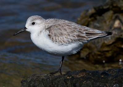 Another Sanderling