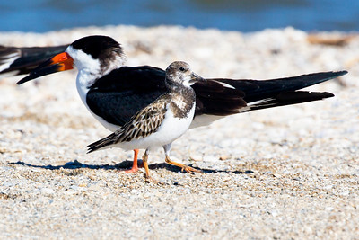 A Ruddy Turnstone struts past a Black Skimmer.