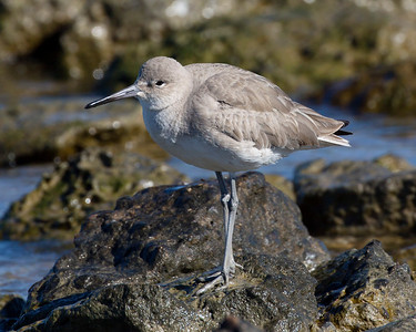 An Eastern Willet