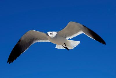 A Gull overhead