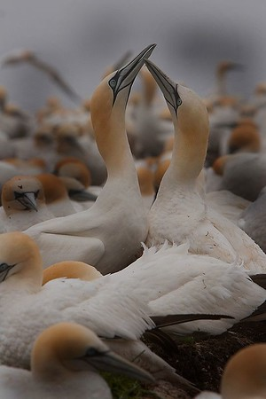 This photograph of battling male Gannets was captured in St. Bonaventure Provincial Park in Quebec (7/05).