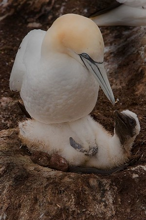 This photograph of a female Gannet and her chick was captured in St. Bonaventure Provincial Park in Quebec (7/05).
