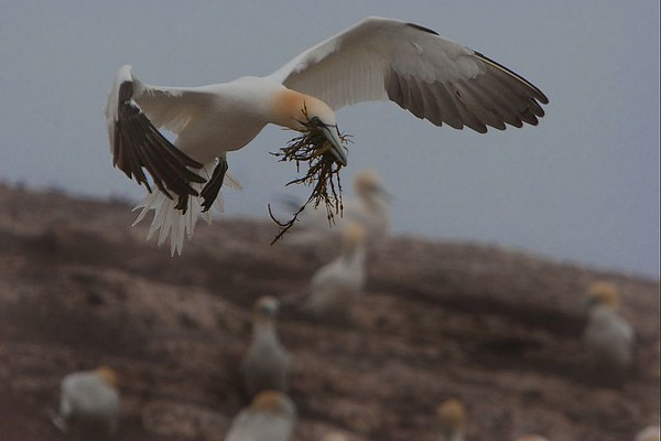 This photograph of a flying Gannet with nesting material was captured in St. Bonaventure Provincial Park in Quebec (7/05).