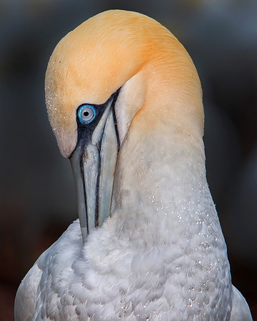 This photograph of a Gannet was captured in St. Bonaventure Provincial Park in Quebec (7/05).  This was my favorite image of the trip.