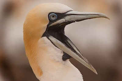 This photograph of a Gannet was captured in St. Bonaventure Provincial Park in Quebec (7/05).