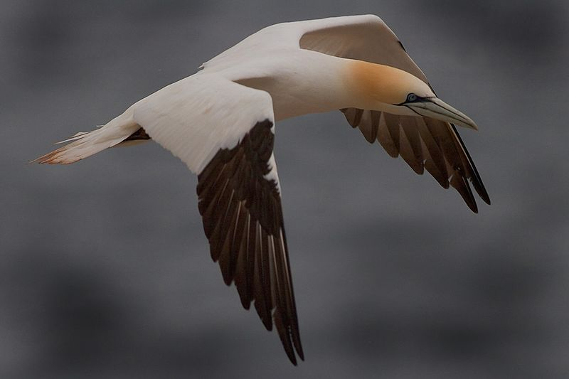 This photograph of a flying Gannet was captured in St. Bonaventure Provincial Park in Quebec (7/05).