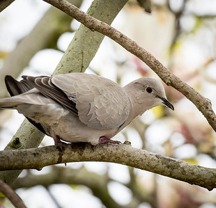 Dove keeping clear