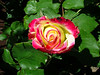 """""""Double Delight"""" - my favorite rose."""