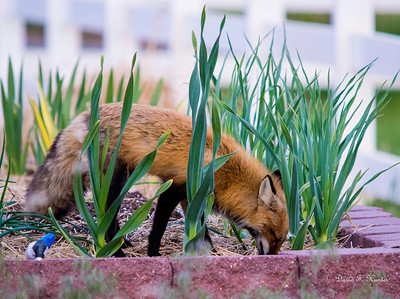 Fox in the garden
