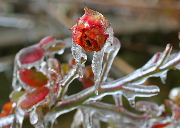 Lisa Rhinehart Winter Fairy Tale frozen rose bud