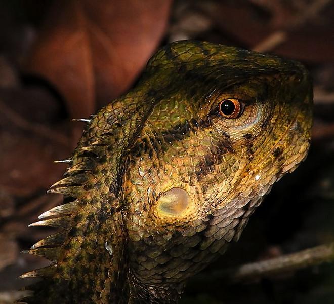 A shy lizard eyeing the camera.  Singapore Botanic Gardens, 19 May 2007.