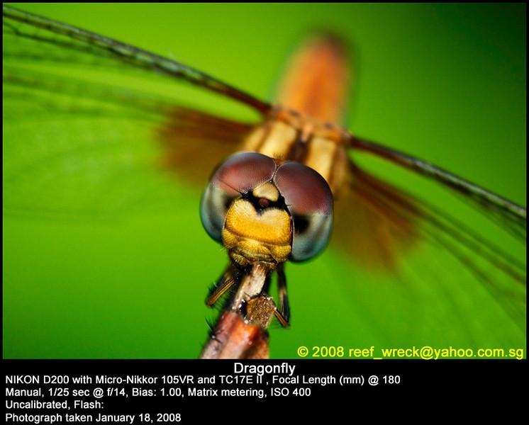 Dragonfly at Eco Lake, Singapore Botanic Gardens, 18 Jan 08.
