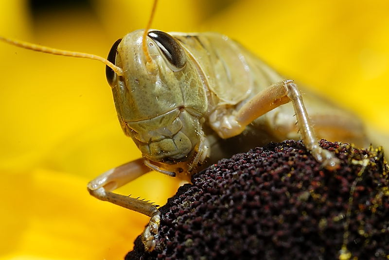 Grasshopper on a Black-eyed Susan, Quebec, Canada, August 2007.