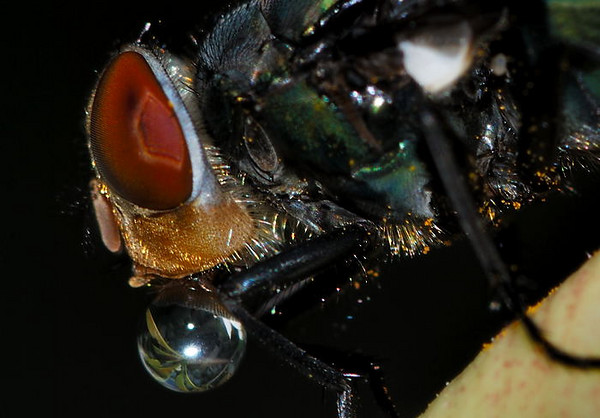 A fly blowing bubbles!
